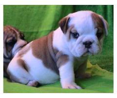 Bulldog  Inglés Para Adopción