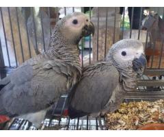 Loros grises africanos dulces y encantadores para la venta