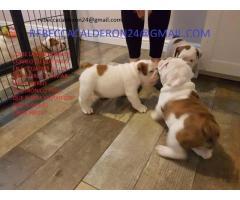 Cachorros de bulldog inglés macho y hembra