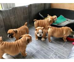 Machos y hembras cachorros de Bulldog Inglés para gratis adopción.