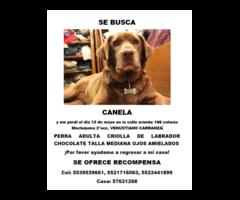 Se Busca Perra Criolla D Labrador Choco Talla Mediana Canela