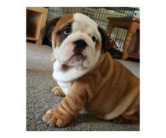Regalo cachorros bulldog de 11 semanas