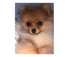 Lovely Pomeranian cachorros para la venta