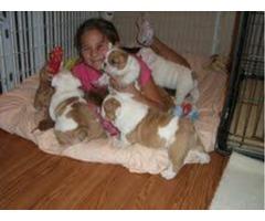 Bulldog Inglés cachorros para su adopción