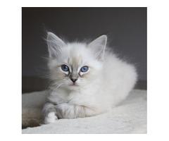 Puro azul mitted ragdoll gatito