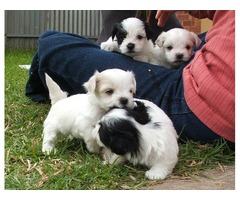 Shitzu Shihtzu Imperial Cachorros Aptos Para Registro