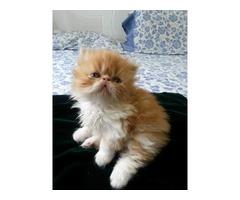 Gatitos persas en venta
