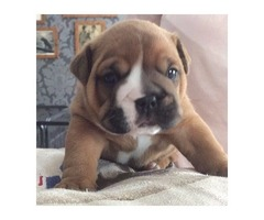 Impresionante Kc Registrado Bulldog inglés cachorros